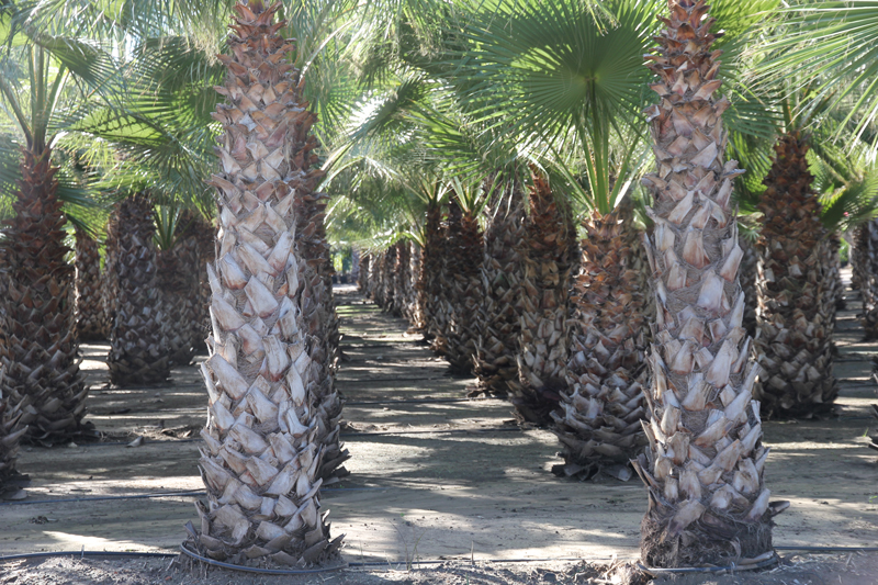 Washingtonia-robusta-1