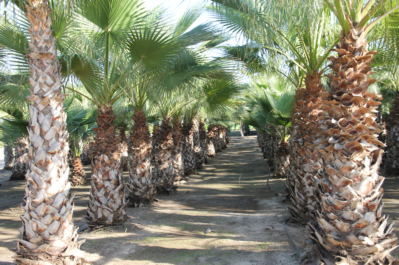 Washingtonia-robusta-2