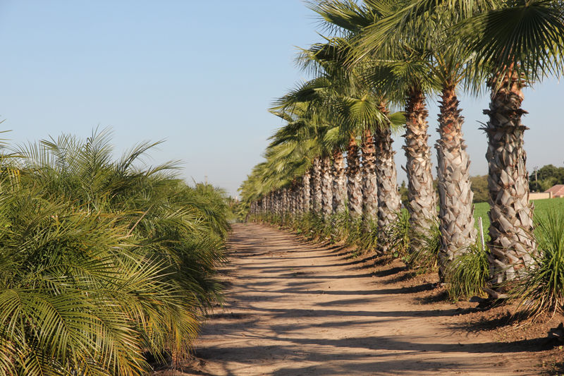 Washingtonia-robusta-3