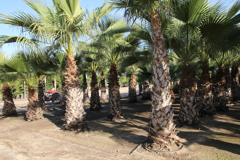 Washingtonia-robusta-4