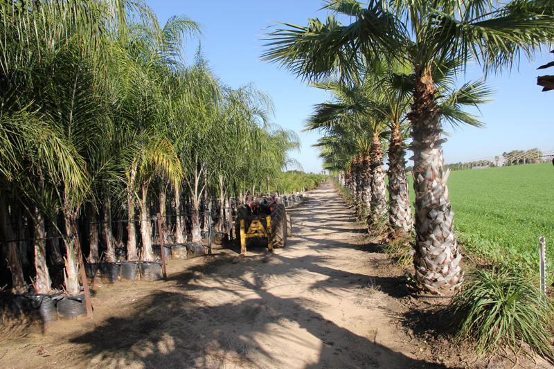 Washingtonia-robusta-5