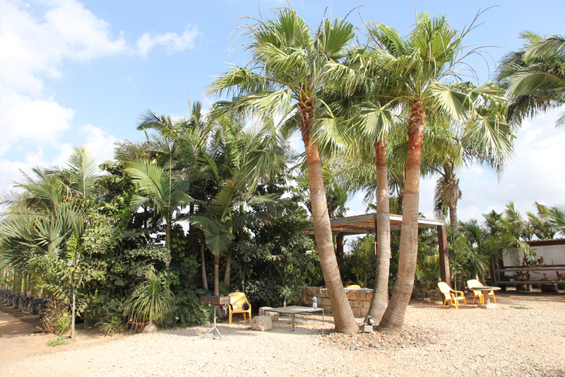 Washingtonia-robusta-6