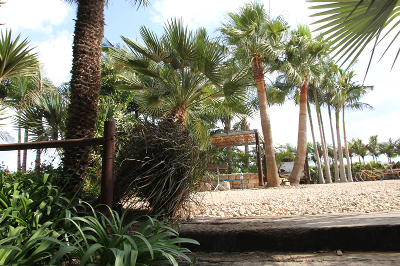Washingtonia-robusta-7