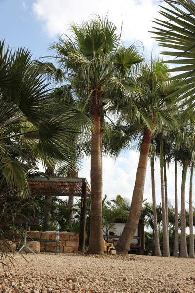 Washingtonia-robusta-8